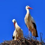 Ooievaarsgebied = nattigheid. Dat vind je ook in Steenwijkerland. Bij je bezoek aan Giethoorn zul je deze prachtige grote vogels regelmatig boven je hoofd zien vliegen.
