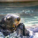 Otters vinden de Weerribben-Wieden geweldig! De Weerribben-Wieden is één van de weinige gebieden waar passende maatregelen zijn getroffen om de otter een fijn leven te bezorgen. De kans dat otters hier platgereden worden of verstrikt raken in een visfuik en vervolgens verdrinken, is kleiner dan elders. De gemeente Steenwijkerland kreeg al een pluim: 'Heel Nederland zou eigenlijk een voorbeeld moeten nemen aan de Weerribben-Wieden. Door de aanleg van ottertunnels en aanpassingen aan visfuiken is de otter hier levensvatbaar.'