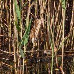 Roerdompen broeden in moerassen die rijk zijn aan stevig, oud waterriet. Je hoort ze wel maar ziet ze meestal niet. Bij je verblijf in Giethoorn zal het geluid je zeker niet ontgaan!