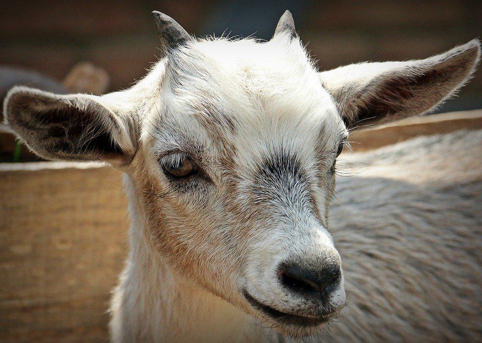 Hoe de geit ter wereld kwam (ilovegiethoorn.nl)