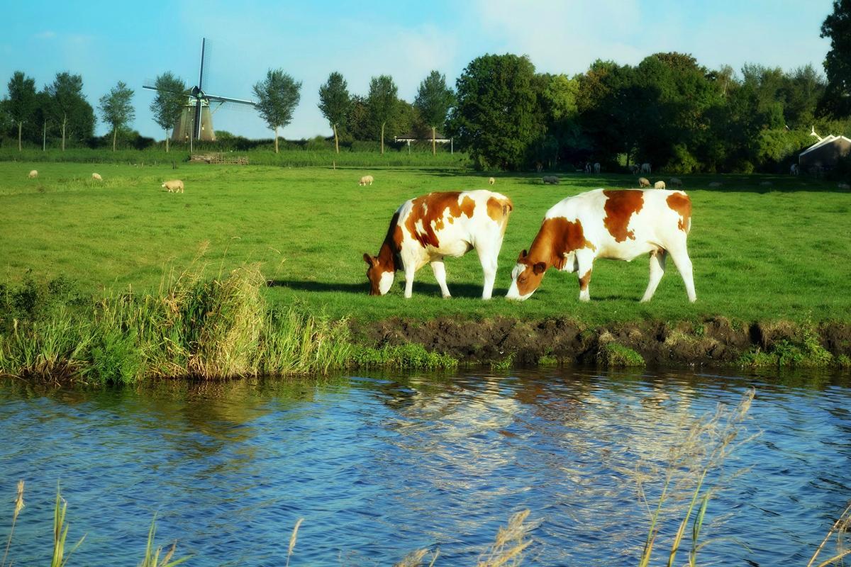 Noord-Holland koeien (ilovegiethoorn.nl)