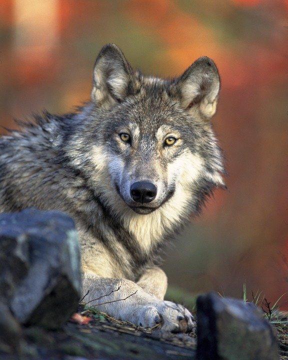 Wolf (iloveoverijssel.nl)
